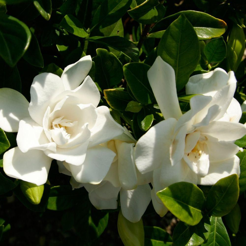 Southern Living Plant Collection 3 Gal Jubilation Gardenia Live