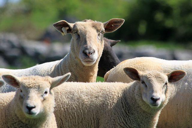 Sheep symmetry #2