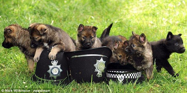 German Shepherd Pups Set To Be The Next Generation Of Canine Crime