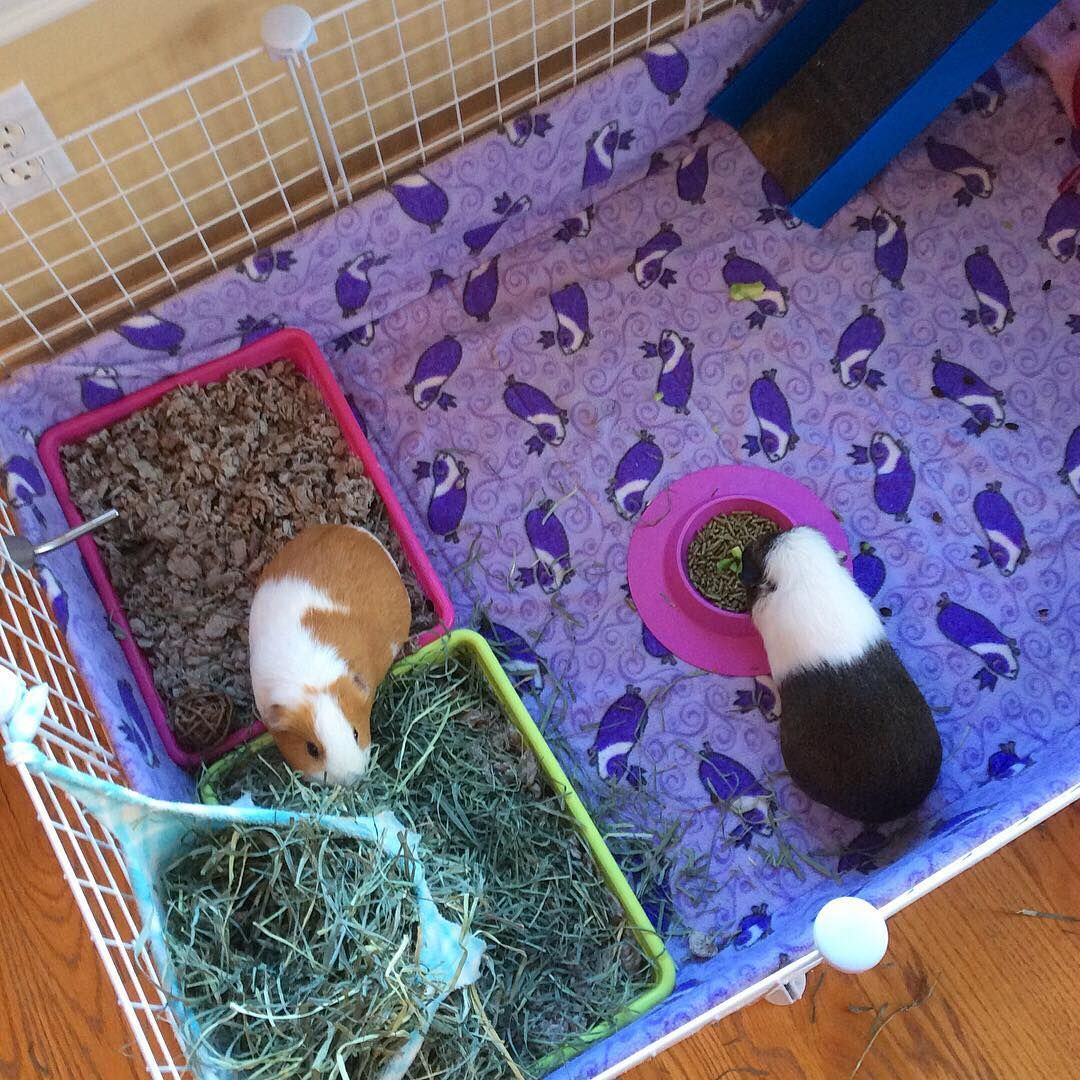 Cage Cleaning Day Guineapig Guineapigs Guineapigsofinstagram Staybowl Piggybedspreads En 2020 Casas Para Cuyos Cuyos