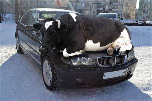 車で暖をとる牛。