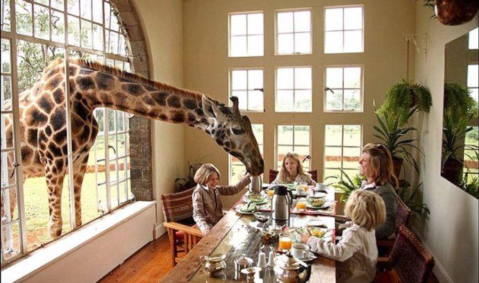 Girafa comiendo gracias a los clientes del restaurante en Kenia.