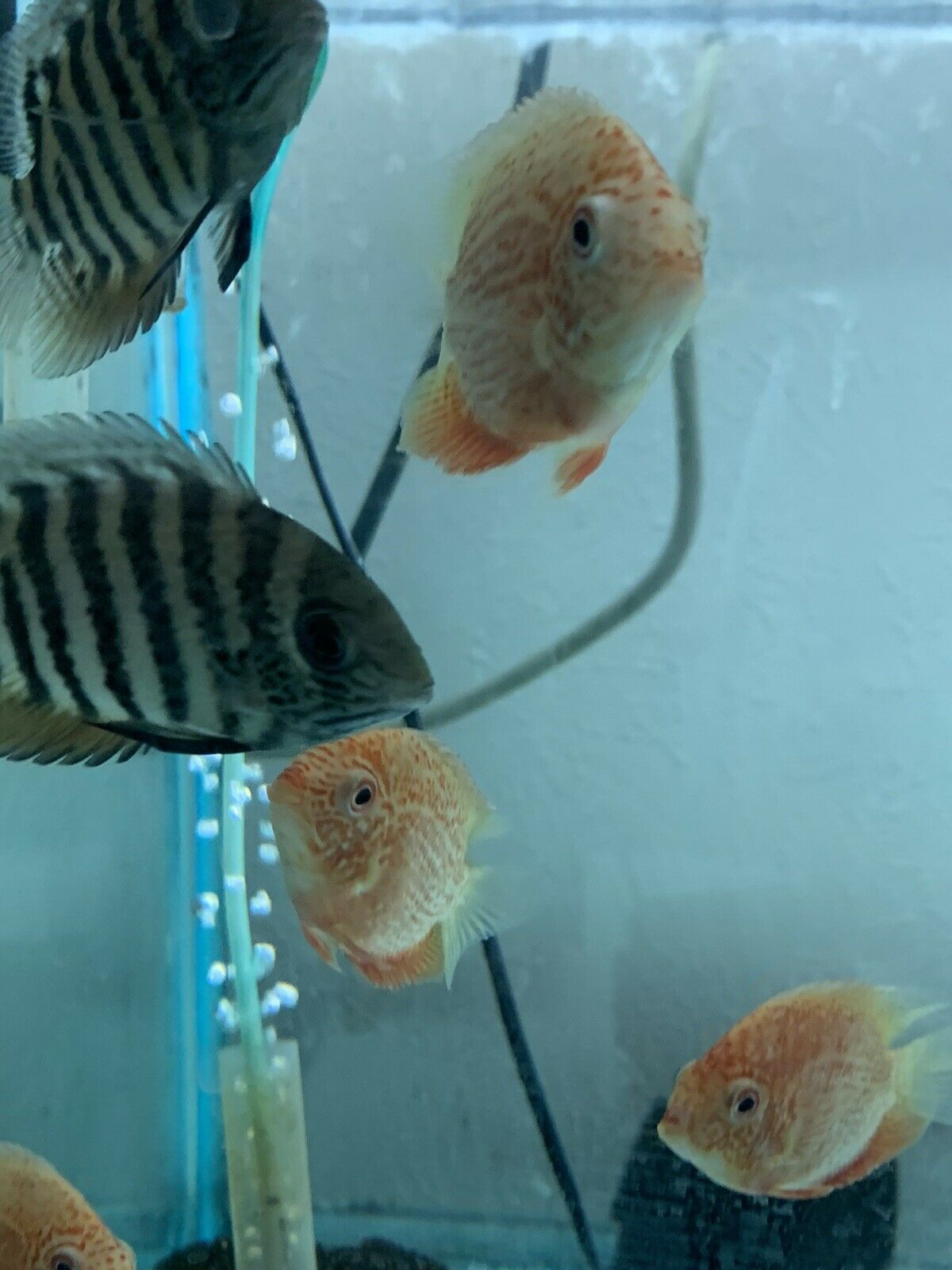 Buy Freshwater Fish Online Free Shipping