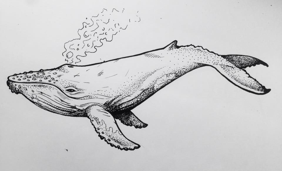 Humpback Whale Line Drawing : Whale drawing by lydia cross commissioned lucy