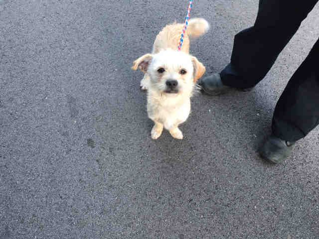 Norwich Terrier Dog For Adoption In Louisville Ky Adn 549268 On
