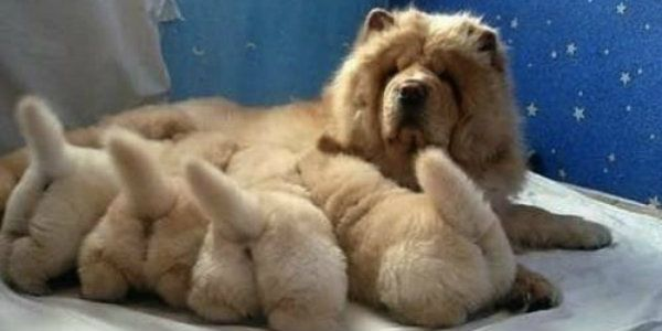 Dog Puppy Dog Lovers Chow Chow Mother S Day Cute Animals