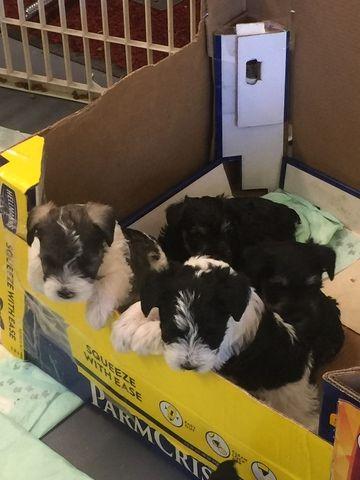 Schnauzer Miniature Puppy For Sale In Tellico Plains Tn Adn 49405 On Puppyfinder Com Gender Male Age Miniature Puppies Puppies For Sale Schnauzer Puppy