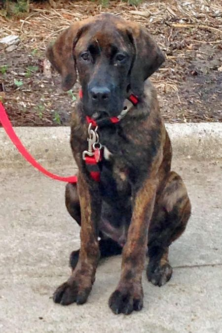 Elwood The Mastiff Mix He S Gonna Grow Into Those Legs Amp Paws