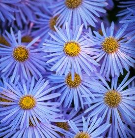 Growing Asters Planting Caring For These Fall Flowers Flower Garden Design Fall Flowers Garden Flowers