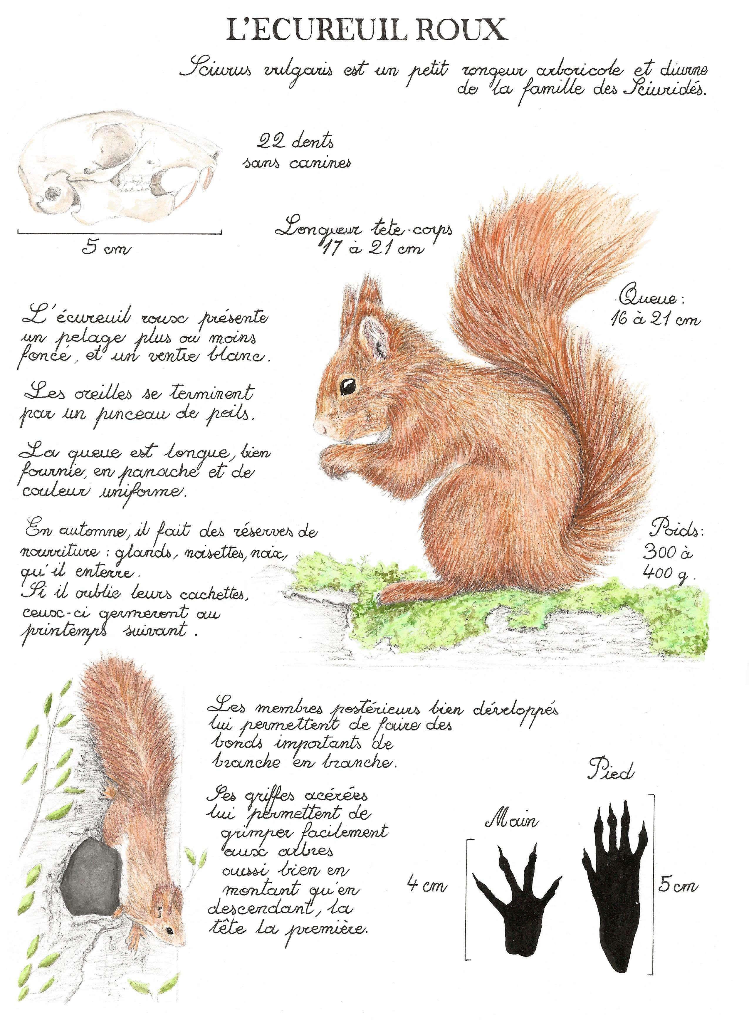 Planche Naturaliste écureuil Roux Alicia Penicaud