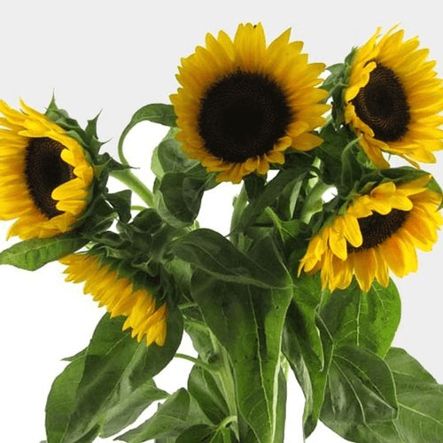 Where To Buy Sunflowers In Bulk For Wedding Cheap Emmaline Bride In 2020 Wholesale Flowers Where To Buy Sunflowers Sunflower Wedding