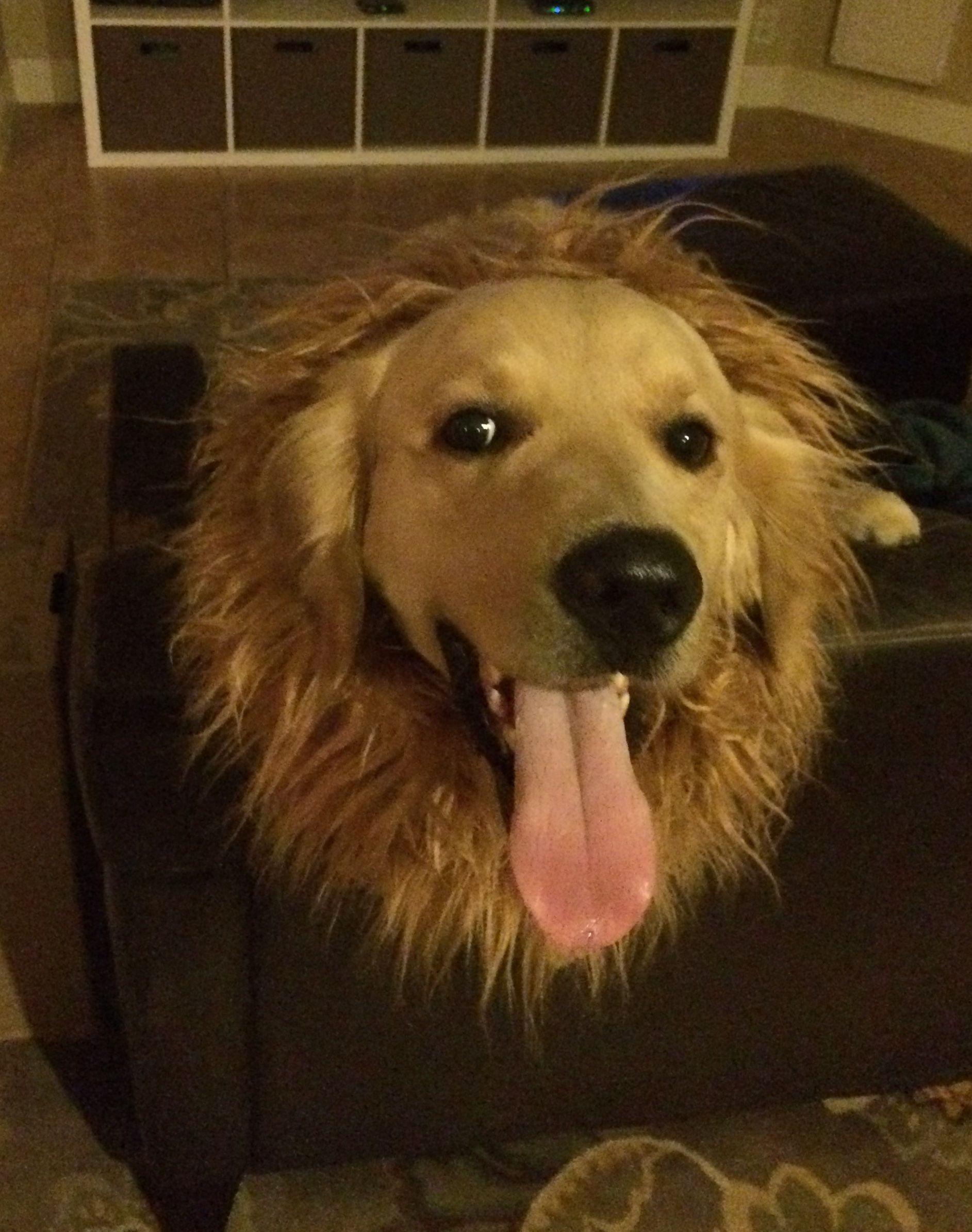Golden Lion Golden Retrievers Dogs Golden Lions Animals