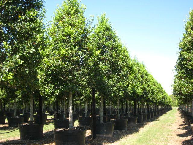 Savannah Holly Tree Form - 100 Gallon