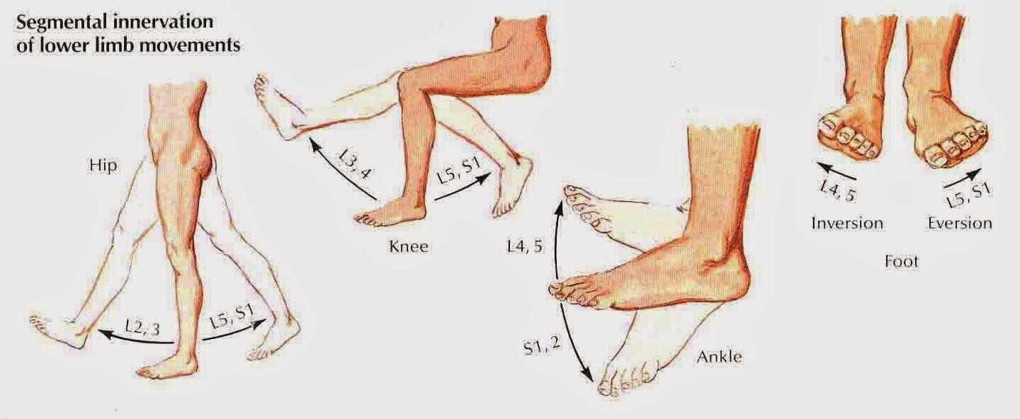Lower Extremity Dermatomes | Body Building Guide | anatomy PT ...
