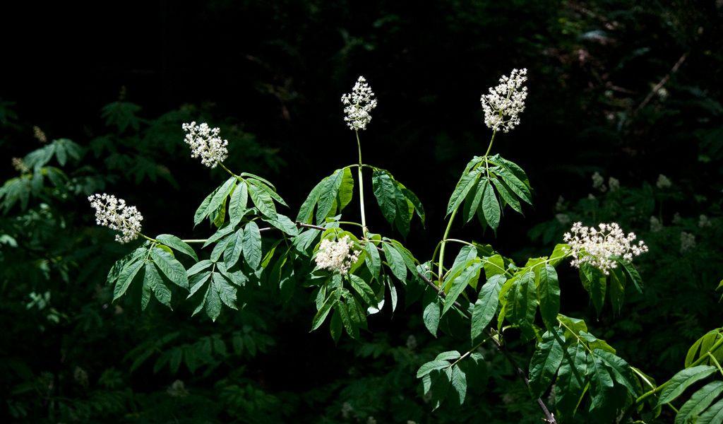 Sambucus racemosa subsp. pubens var. arborescens - Pacific Red Elderberry