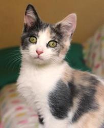 Adopt Catniss On Petfinder Calico Kitten Kittens Cutest Beautiful Cats