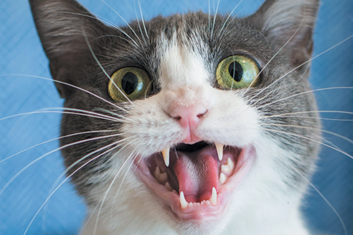 6 Reasons Your Cat Won't Stop Meowing At You Cat noises