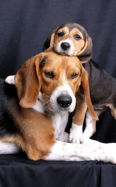 Mother Beagle And Her Playful Puppy Also Click On The Image