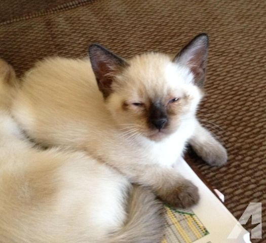 Adorable Short Hair Balinese Kitten Balinese Cat Burmese Kittens Kitten
