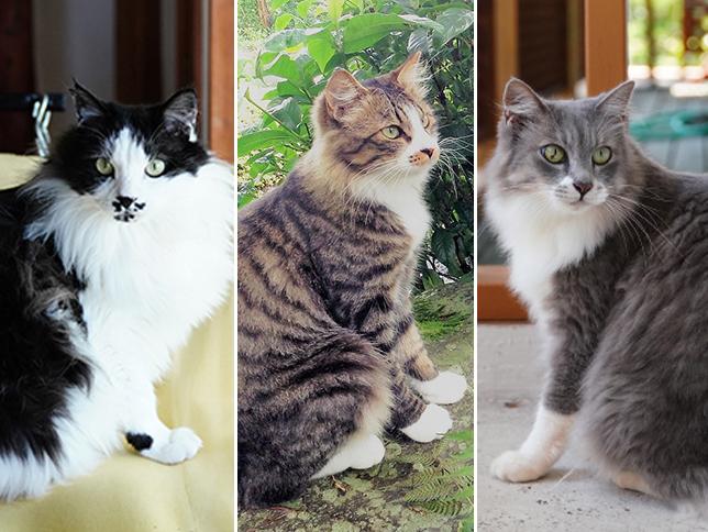 伊豆の宿猫 モフモフ コロコロ合戦 大手小町 猫 コロコロ ノルウェージャンフォレストキャット