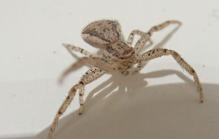 小さなカニのような蜘蛛 アズマカニグモ 益虫 はな 蜘蛛