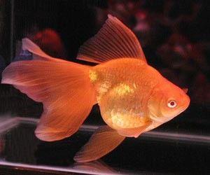Aquarium poissons voile de chine rouge 5 7 poisson for Carpa pesce rosso