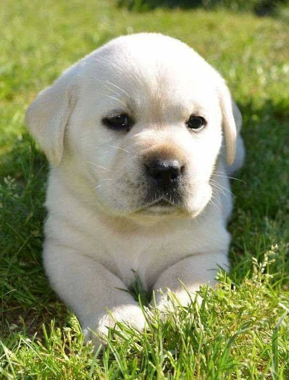 Omg With Images Golden Labrador Puppies Labrador
