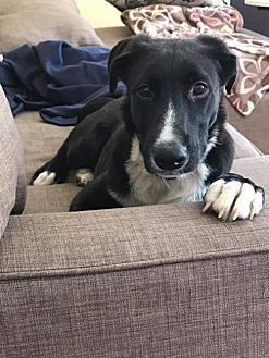 Shepherd Unknown Type Border Collie Mix Dog For Adoption In New