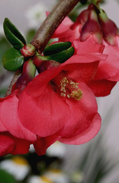 ^Chaenomeles japonica aka Flowering Quince. It come in red, white, or peach colors.