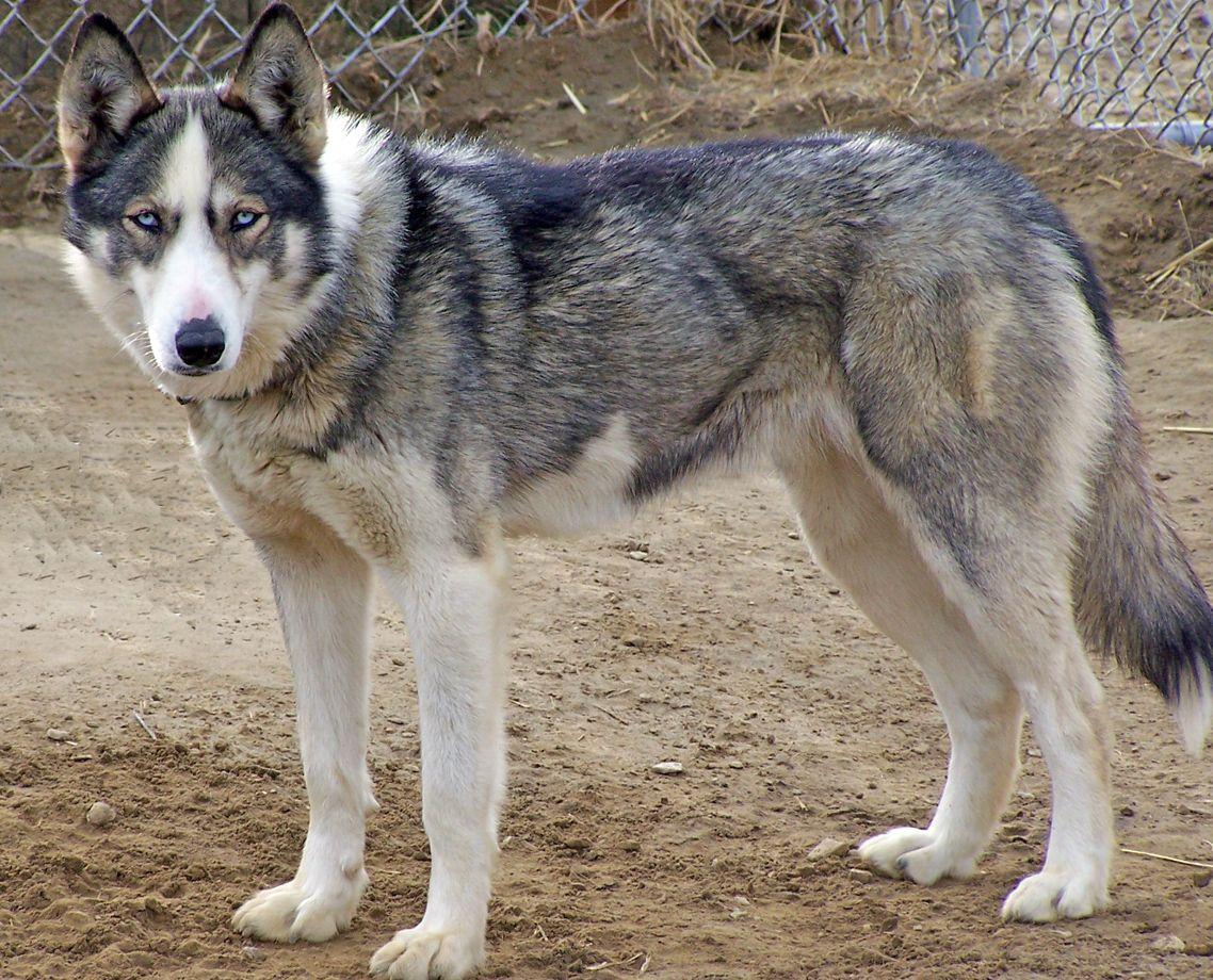 Seppala Siberian Sleddog Beautiful Dog Breeds Dog Breeds