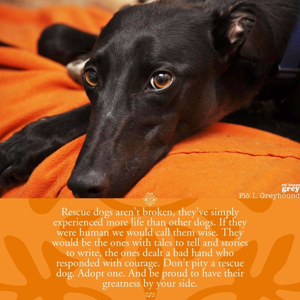 Beautiful And So True Don T Pity A Rescue Dog Adopt One Oh Happy Grey Facebook Greyhound Rescue Grey Hound Dog Greyhound