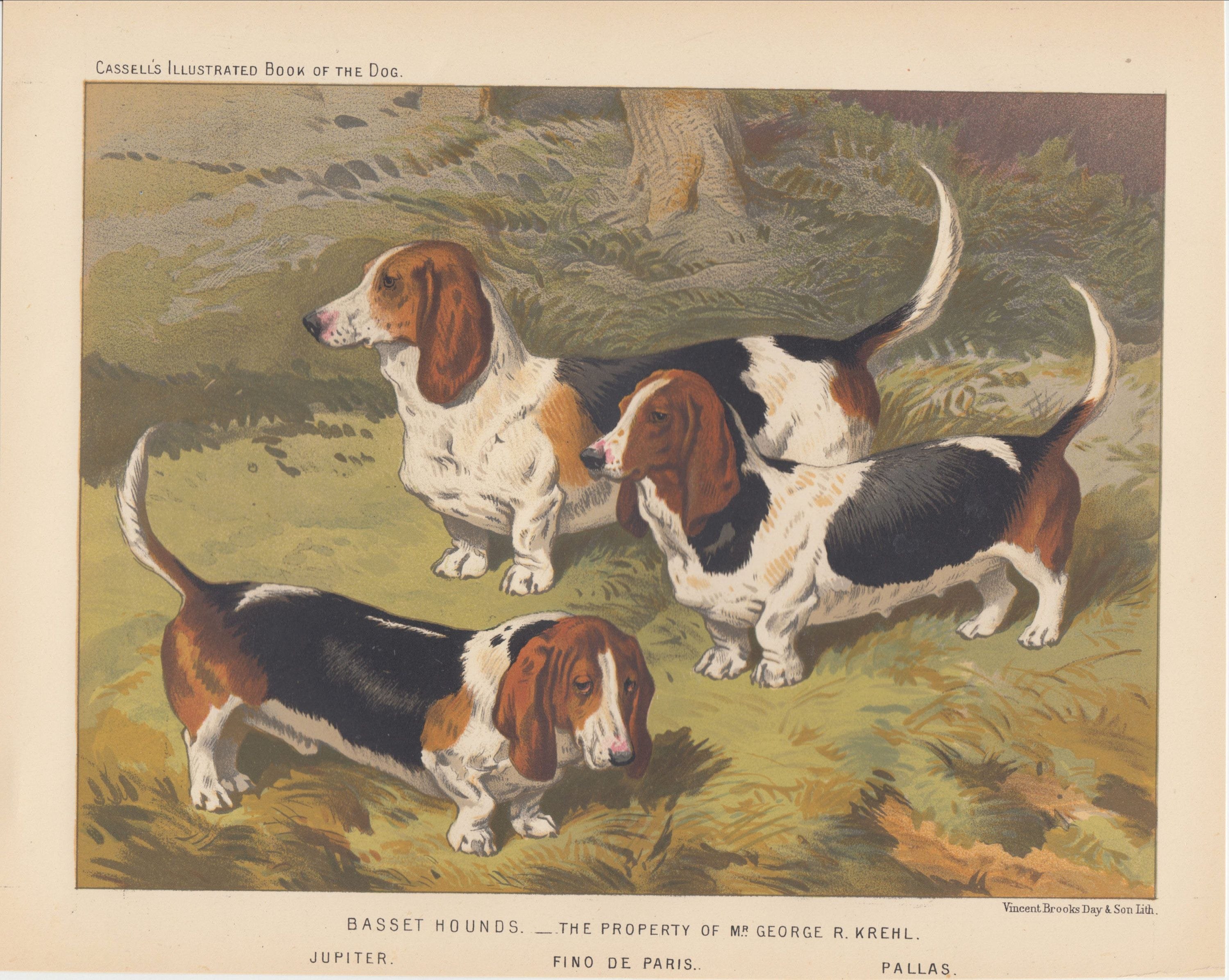 1881 Rare Antique Dog Print Early Basset Hound Dogs Antique