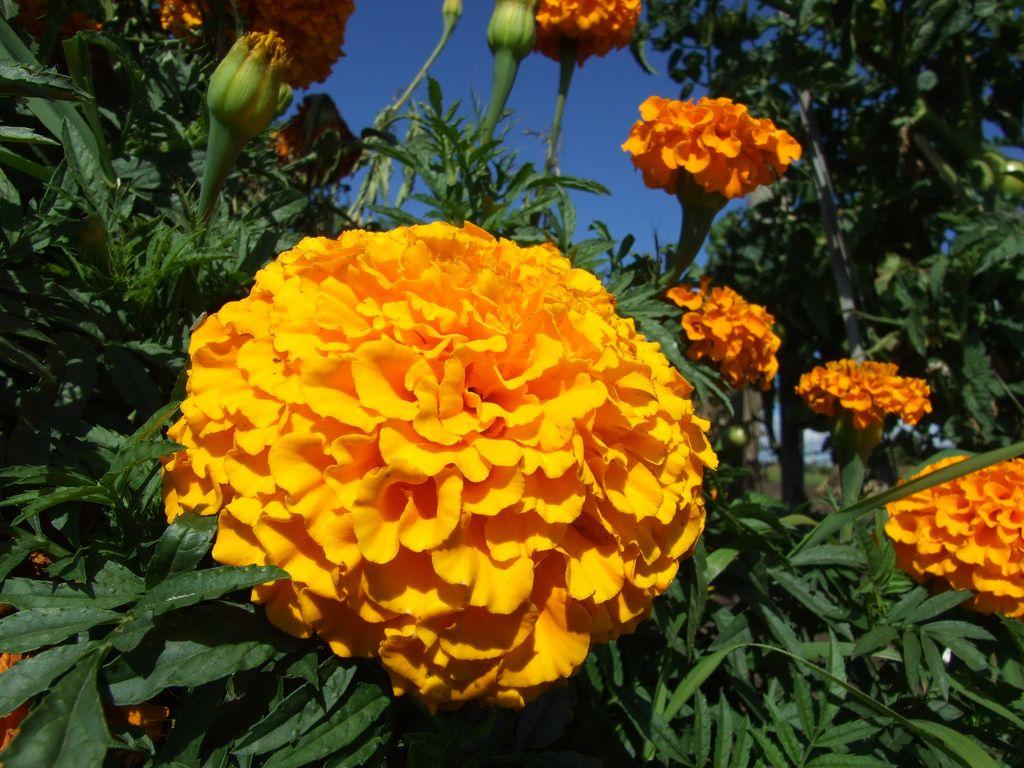 Marigolds Marigold, Flowers, Plants
