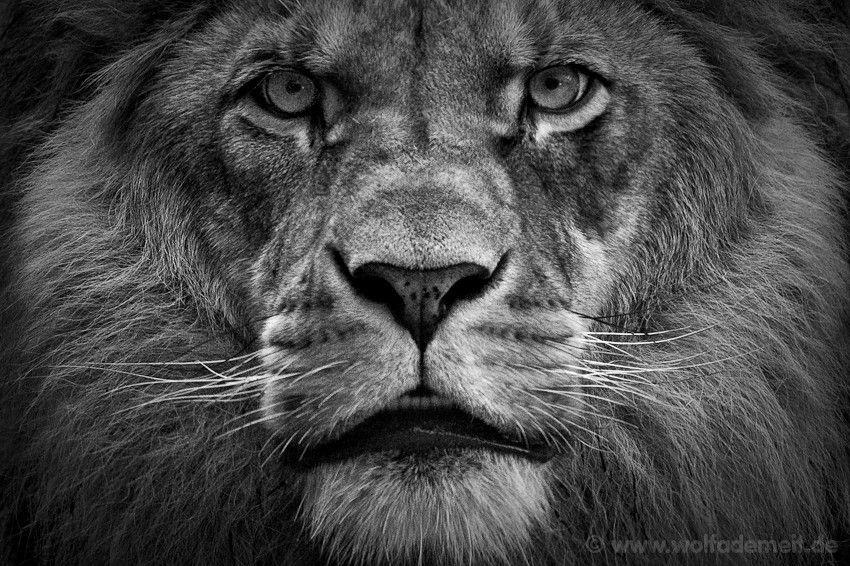 I am Lion here me roar