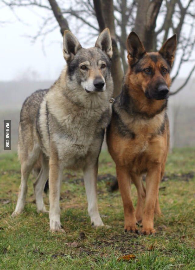 Tschechoslowakischer Wolfshund Husky Mix