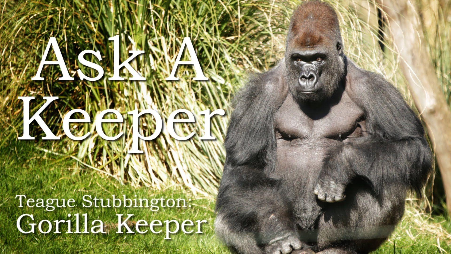 N'dowe Gorilla gorillas | REF - Goril...