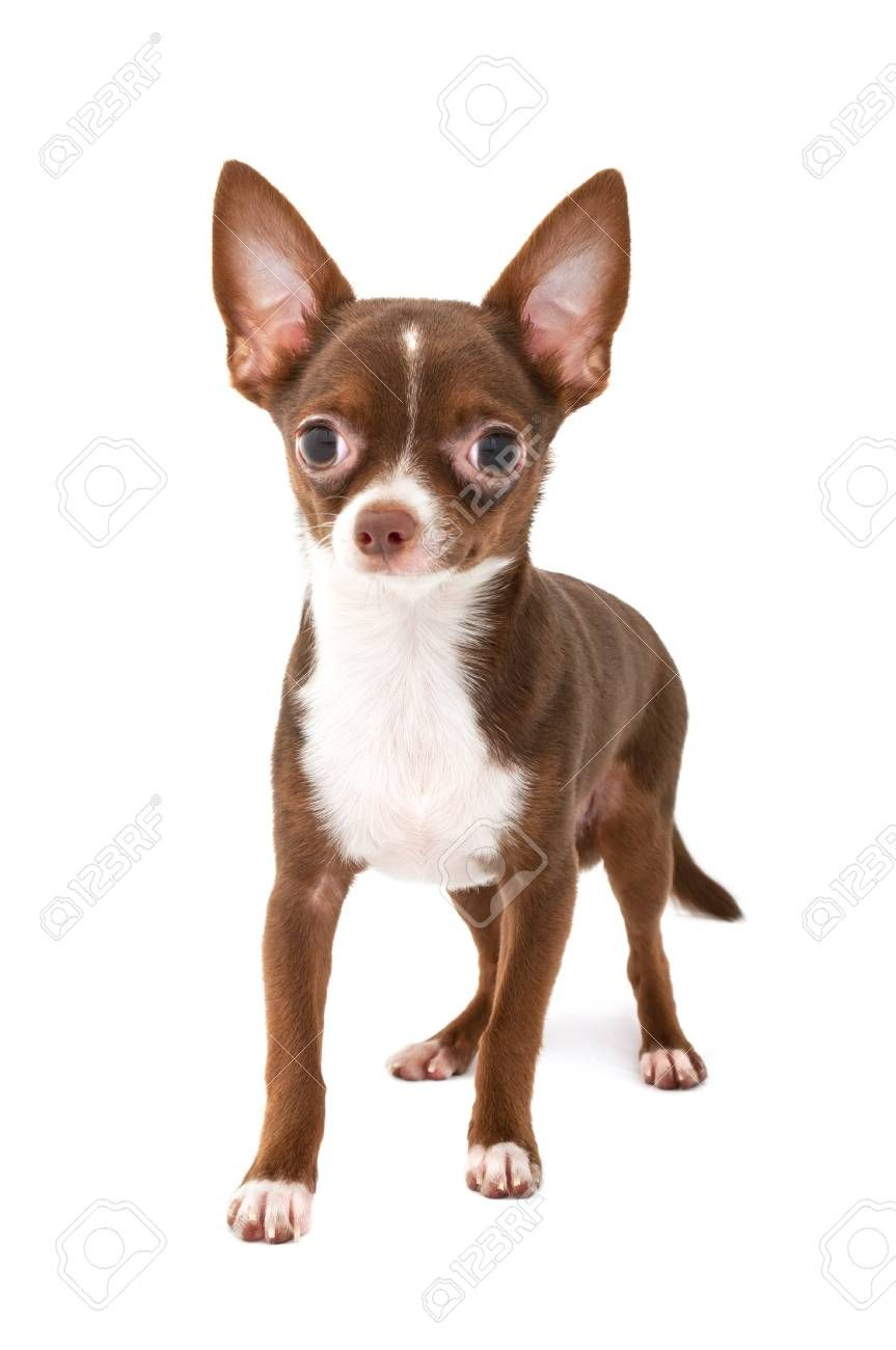 Pin On Baby Chihuahua Don T Judge The Breed Won T Judge Your Kids