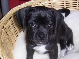Black Puggles Doggies My Dream Dog Black Puggle White Tummy