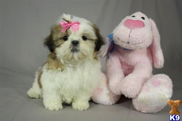 Browse Shih Tzu Puppies For Sale In New York Shih Tzu Puppy Shih Tzu Shih Tzu Dog