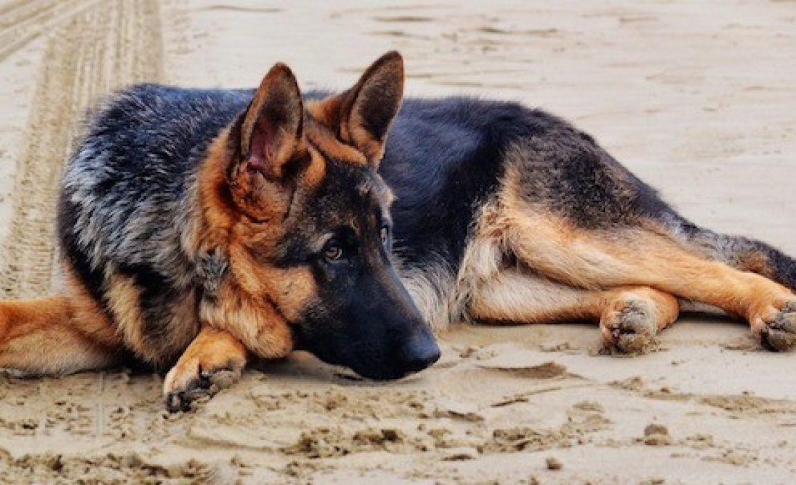 german shepherd dog food list