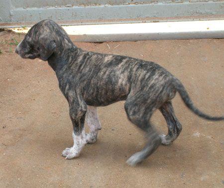 Mudhol Hound Caravan Hound India Hunderassen Hunde Rassen