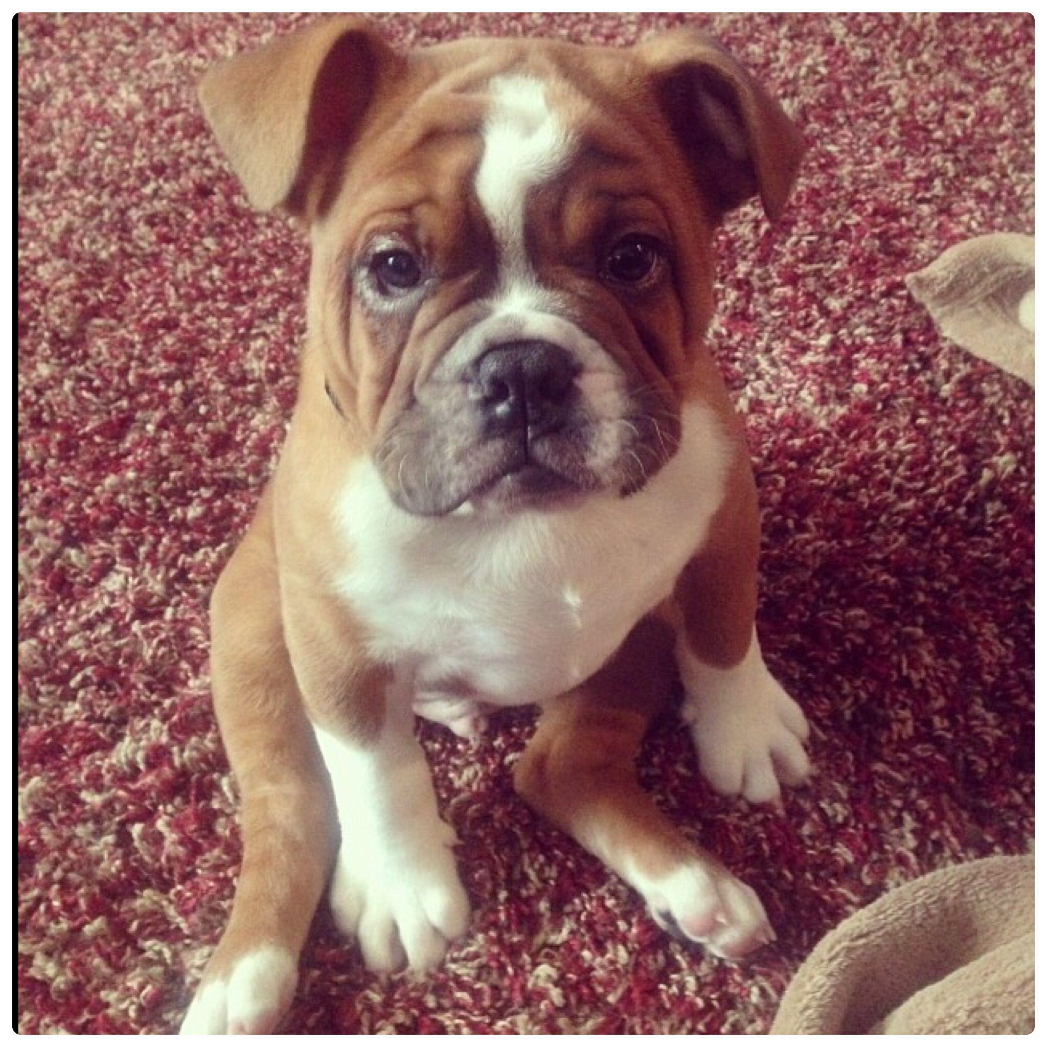 English Bulldog Puppy name Winston! Puppy names, Bulldog