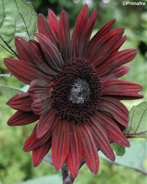 Helianthus annuus 'Claret F1', Sunflower This dark-stemmed, multi-headed variety grows black-centred, deep wine-red flowers. Great cut flower. Easy-to-grow annual.