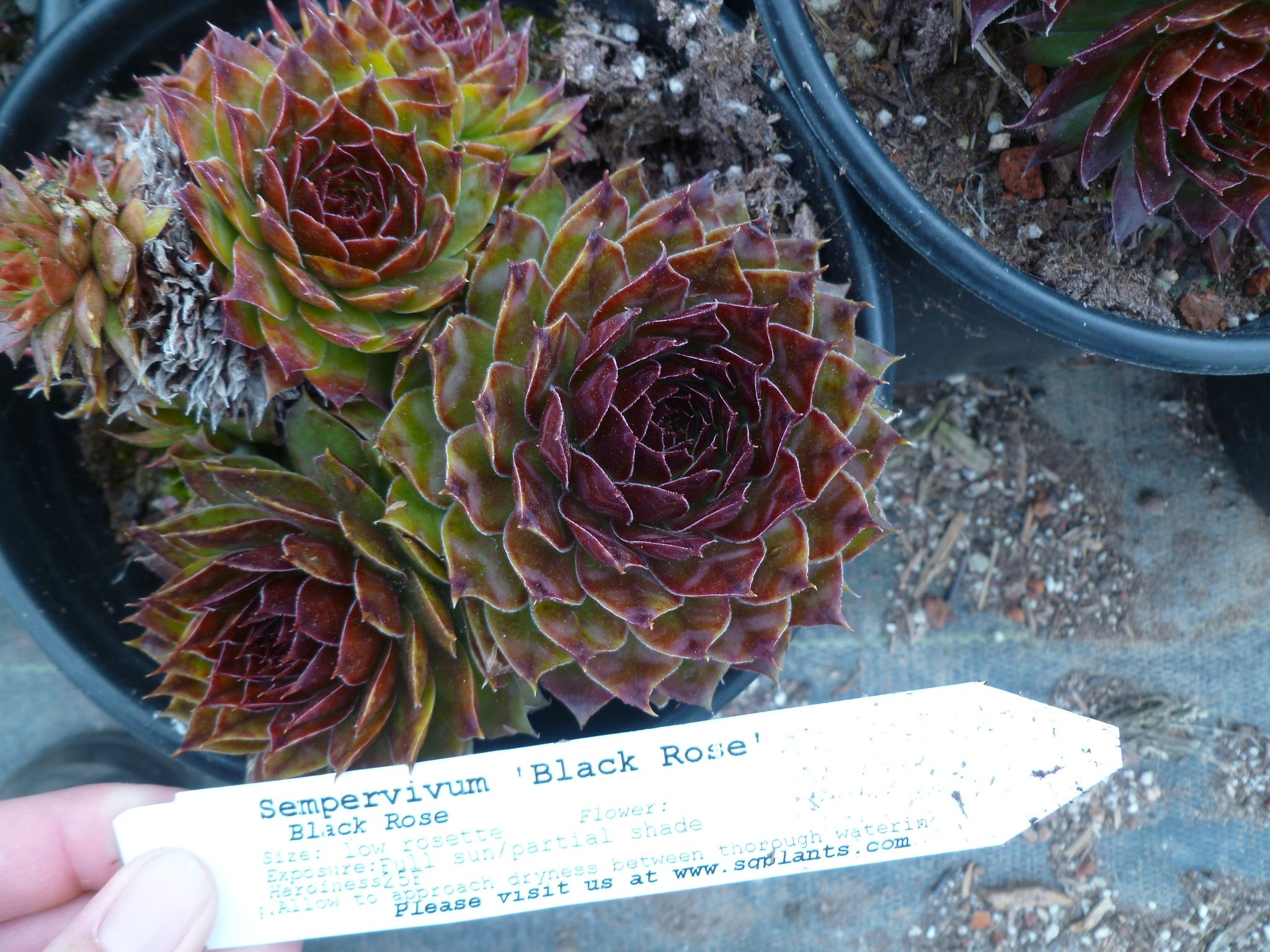 Succulents We Love  With Names