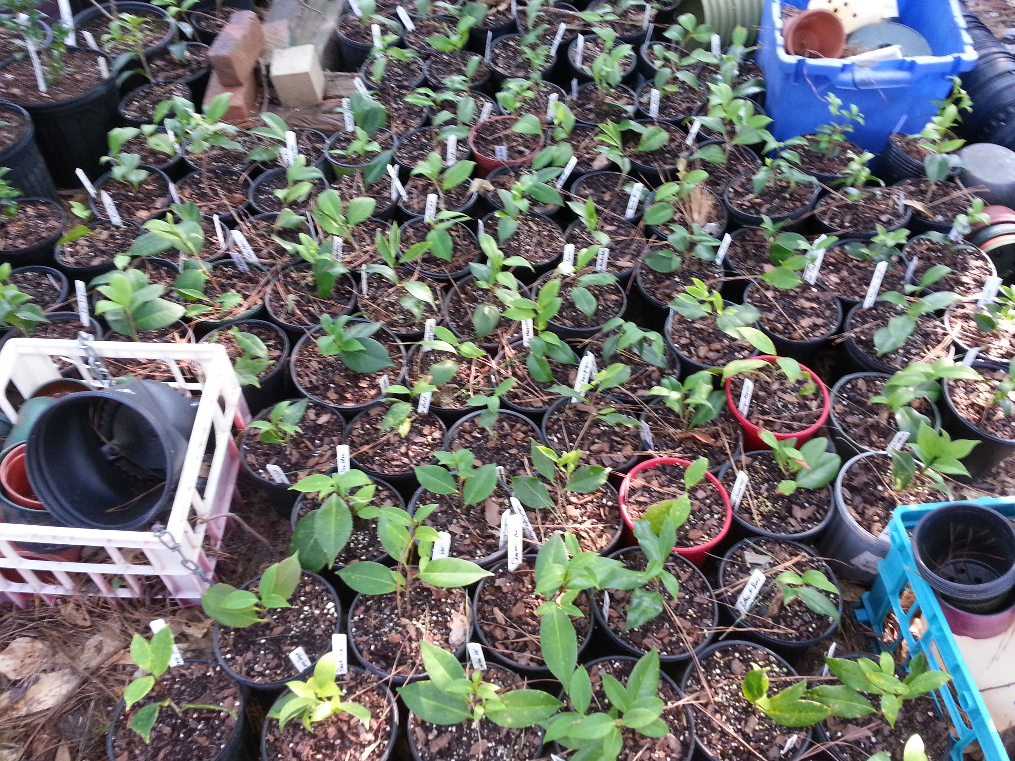 Some 1 Year Old Camellia Rooted Cuttings Grape Soda Plants Camellia