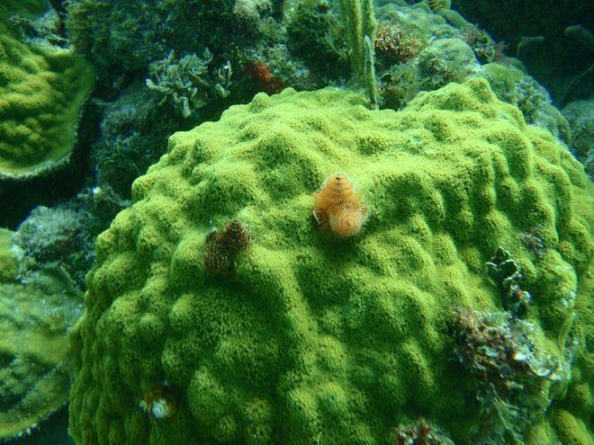 Christmas Tree Worms On Coral Dry Rocks Reef Key Largo Fl Scuba