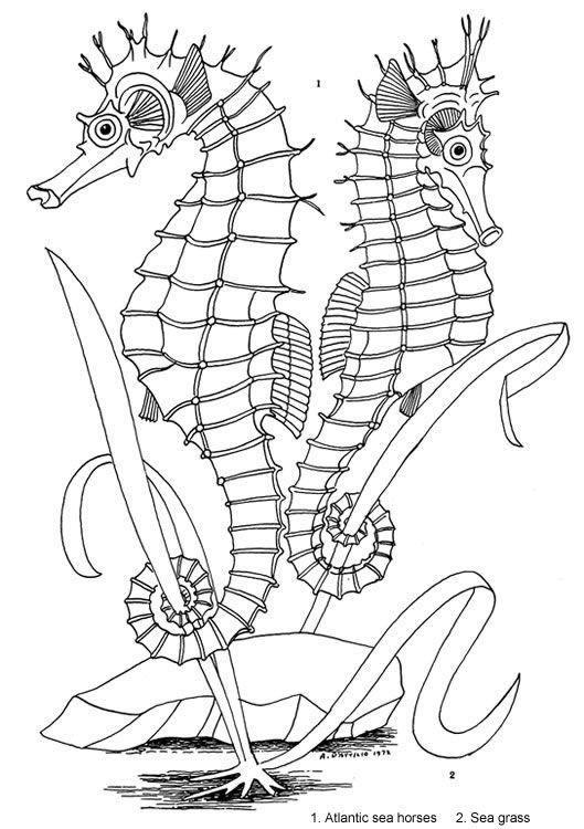 Kleurplaten Van Zeepaardjes.Kleurplaat Zeepaardjes Kleurplaat Coloriage Animaux Coloriage