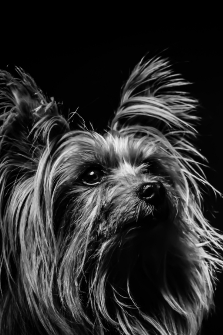 Black And White Yorkshire Terrier In A Black Background Pet Dog Animal Animal Food Dog Food Cute Dog Silky Terrier Yorkshire Terrier Yorkshire Terrier Puppies