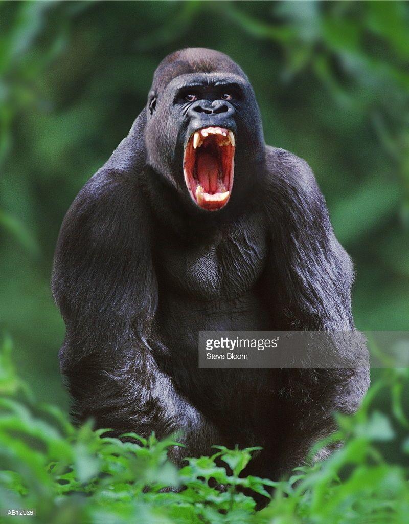 Western lowland silverback gorilla snarling | Silverback gorilla, Gorilla,  Silverback gorilla strength