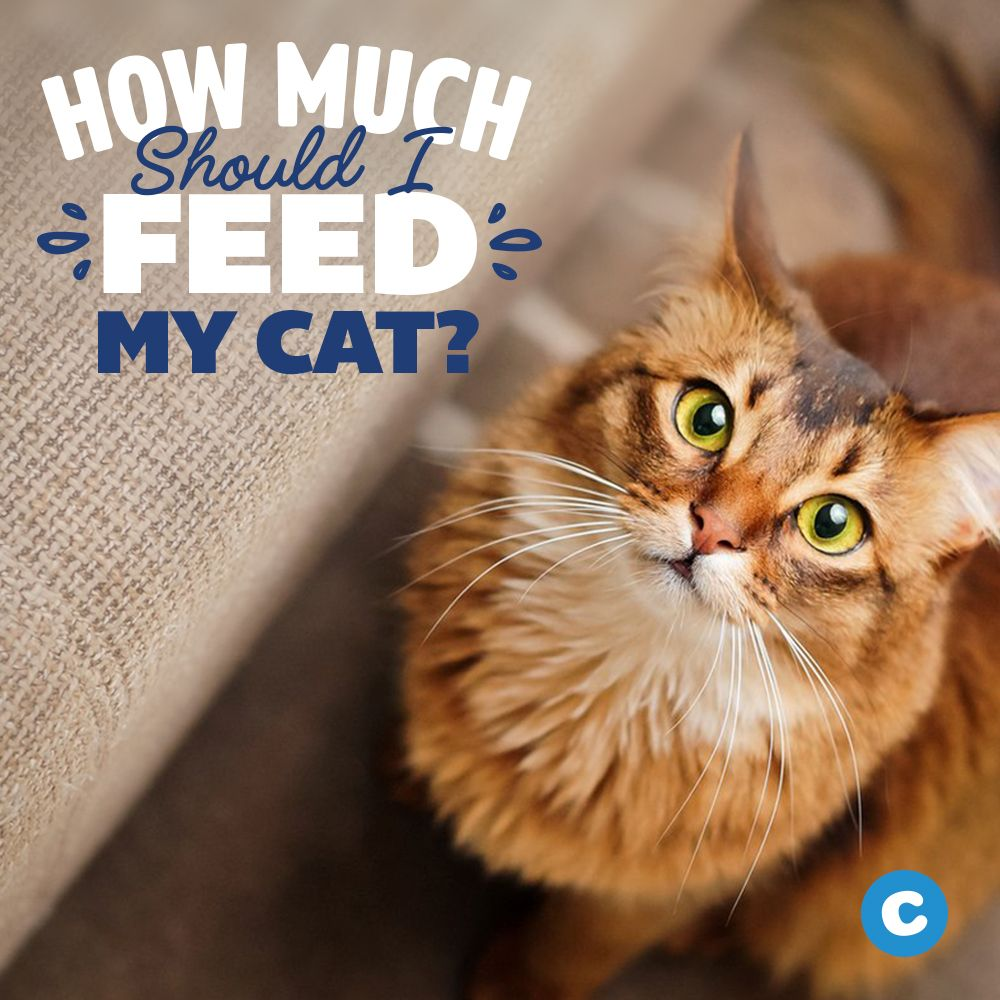 How Much Should I Feed My Cat Tips to Feeding Cat Food